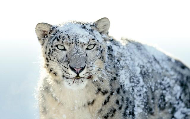 Snwo Leopard GM